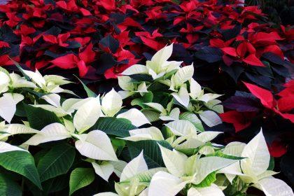 weihnachtsstern rot weiss