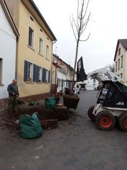 Baumpflanzung - Straßenbaum - Baumpflege