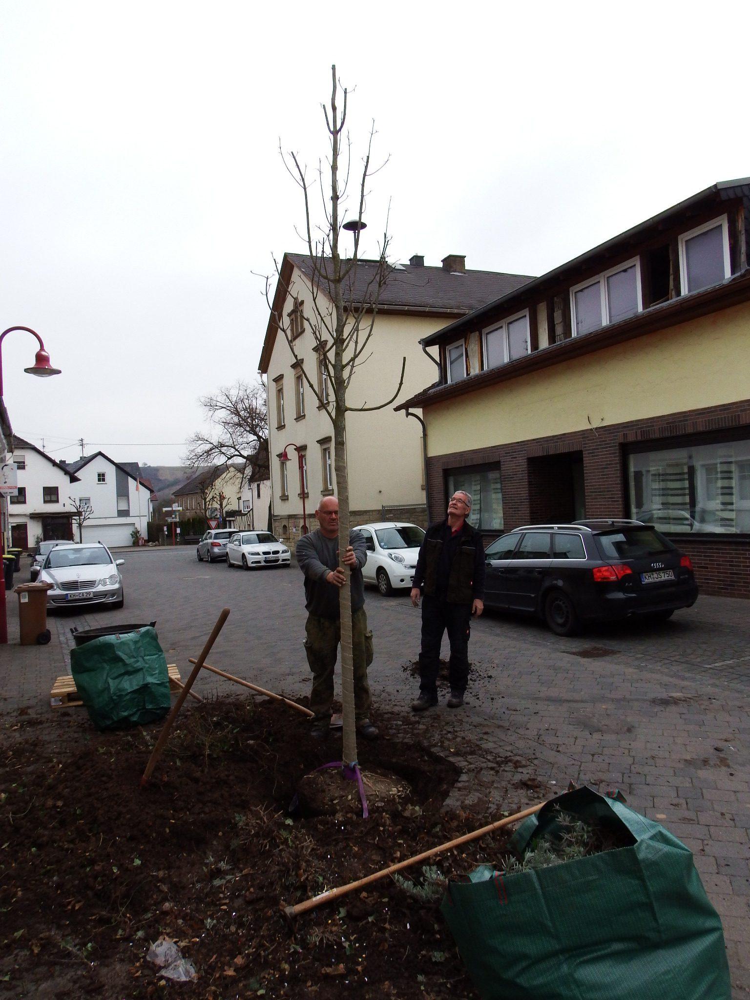 Baumpflanzung - Baum ausrichten - Baumpflege - Galabau - Baum pflanzen