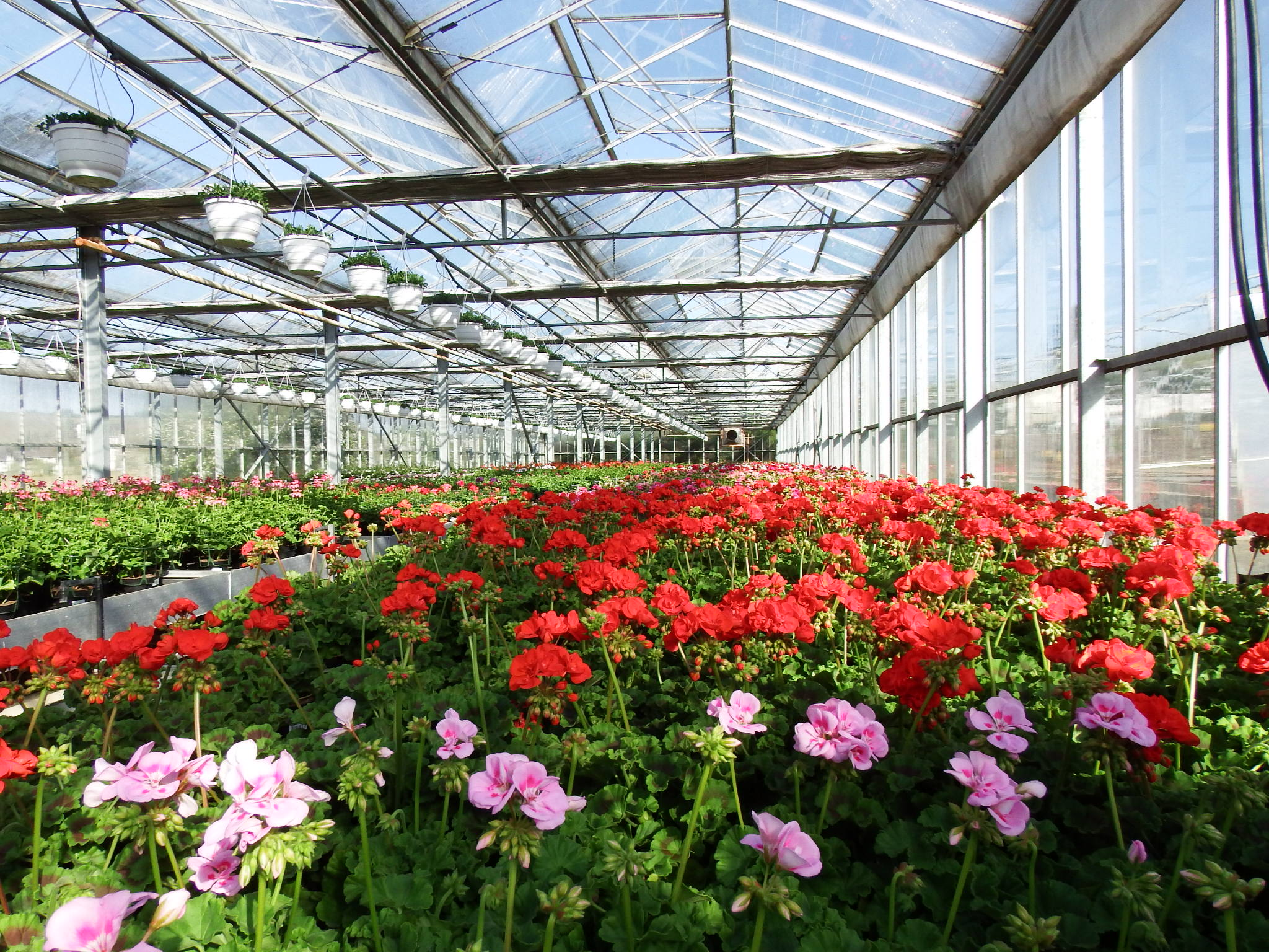 Tag der offenen Tür - Blumen - Geranien - Beet- und Balkon - Tag der offenen Gärtnerei - Gärtnerei Hans - Bellandris Rehner - Gärtnerei Rehner -
